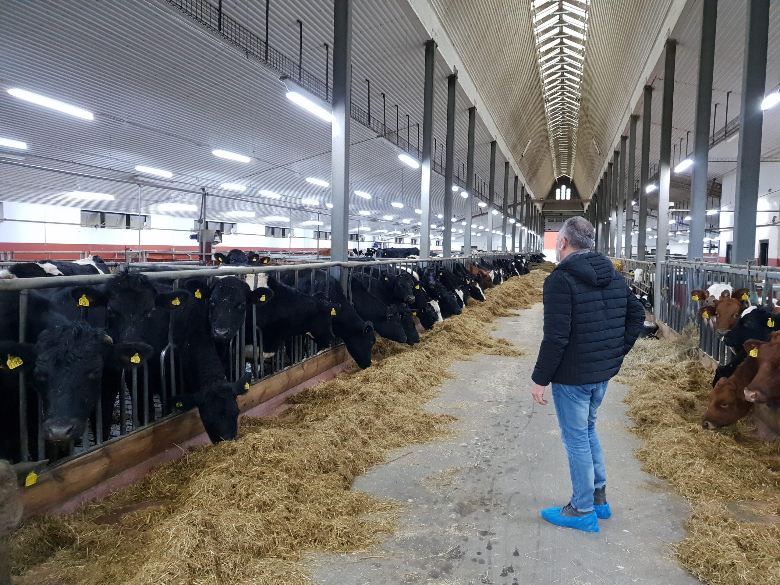djurstallar, mjölkkor,